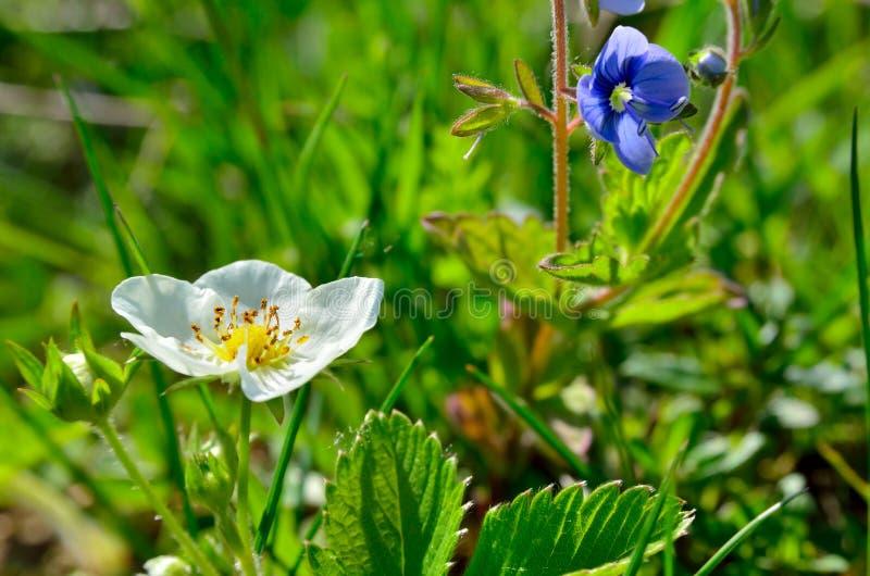 Weiße Blumen Der Walderdbeere Im Wald Im Sommer Stockbild - Bild von ...