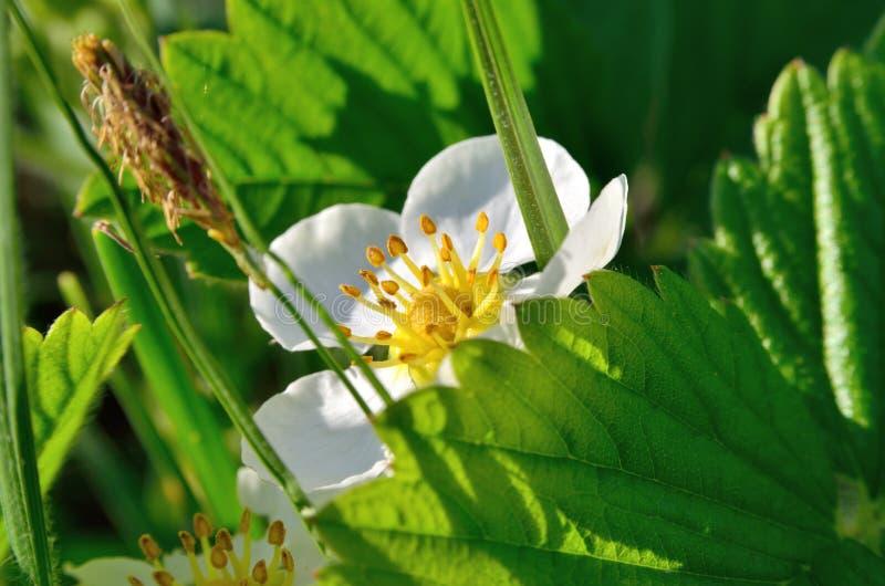 Weiße Blumen Der Walderdbeere Im Wald Im Sommer Stockfoto - Bild von ...