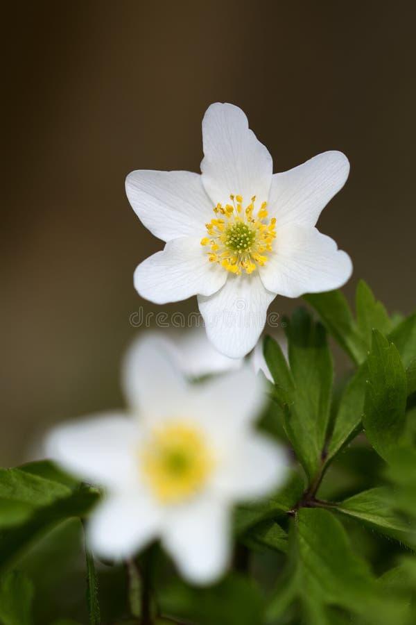 Weiße Blumen in der Wiese stockbild