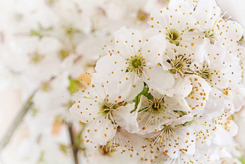Weiße Blumen der wilden Pflaume, Vorfrühlingshintergrund stockfoto