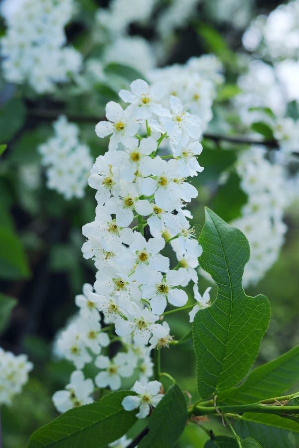 Weiße Blumen der wilden Vogelkirsche lizenzfreies stockbild