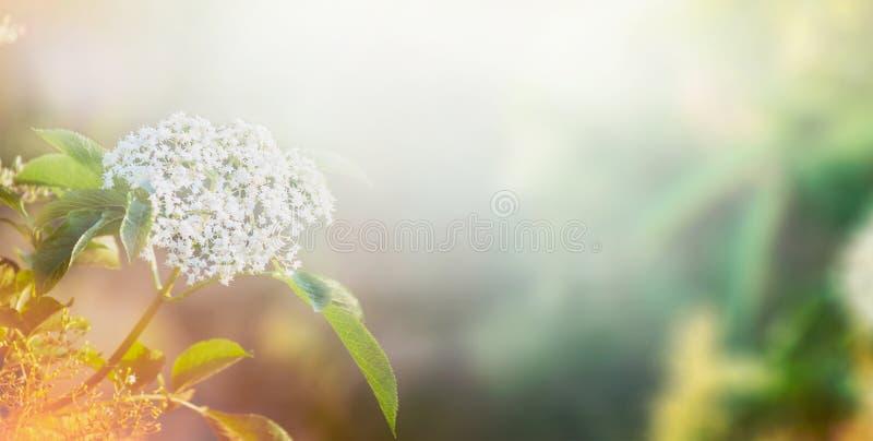 Weiße Blumen des Ältesten über Garten- oder Parknaturhintergrund, Fahne lizenzfreie stockfotografie