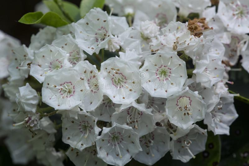 Weiße Blumen des Berglorbeers in Vernon, Connecticut stockfotografie