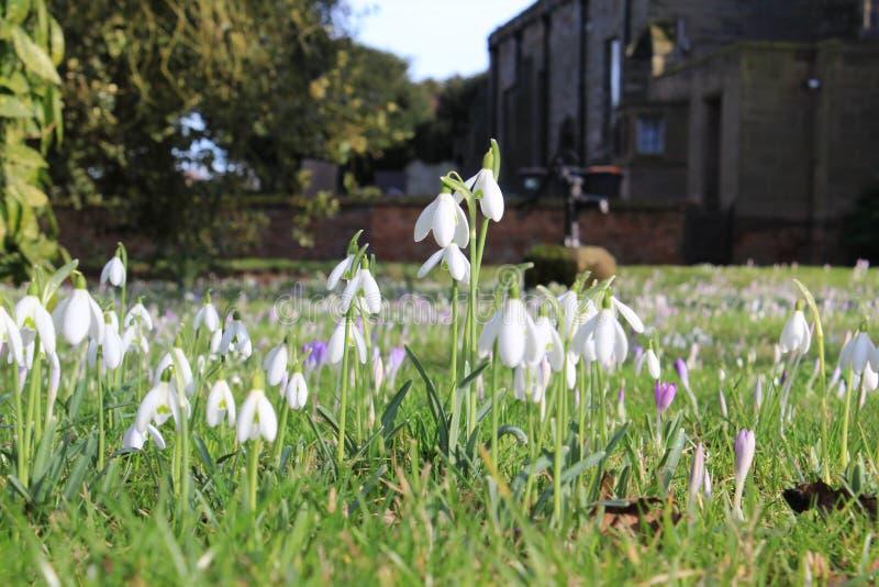 Weiße Blumen des ersten Frühlinges am sonnigen Tag stockbild