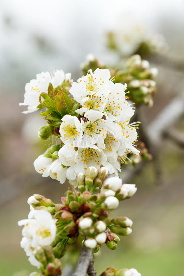 Weiße Blumen des Frühlingsbaums stock abbildung