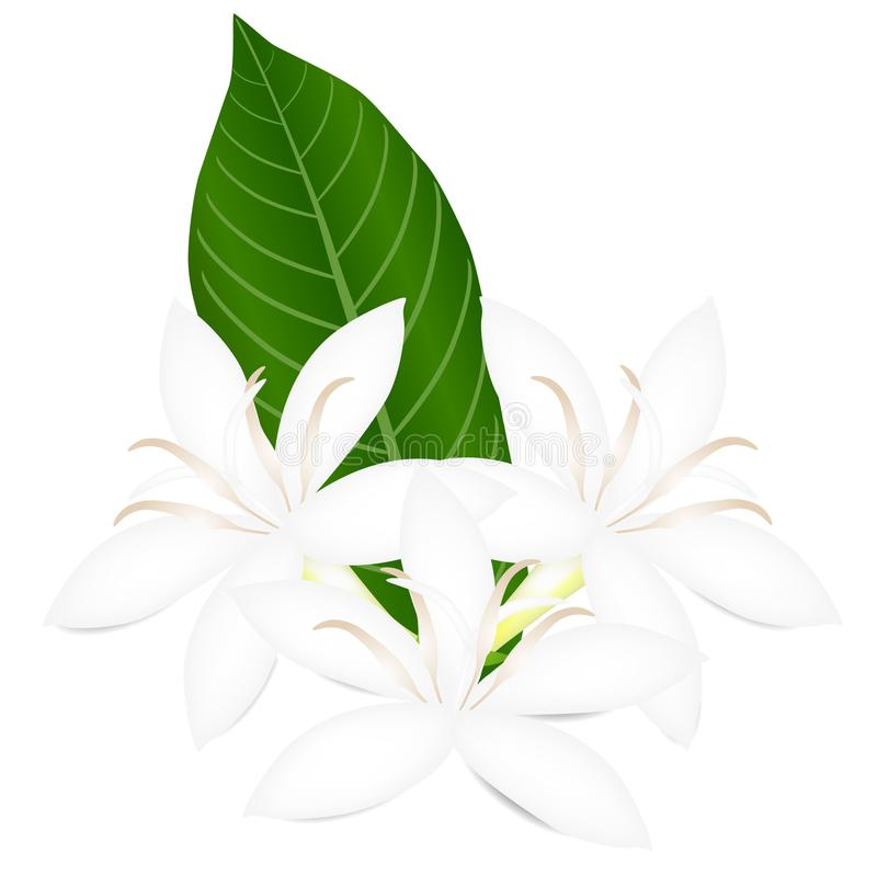 Weiße Blumen des Kaffeebaums mit dem grünen Blatt lokalisiert auf weißem Hintergrund stock abbildung