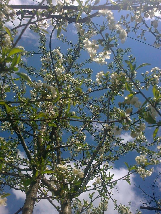 Weiße Blumen des Kirschbaums grünen Blattfedern, das schönes sehr nettes das groß ist! lizenzfreie stockfotos