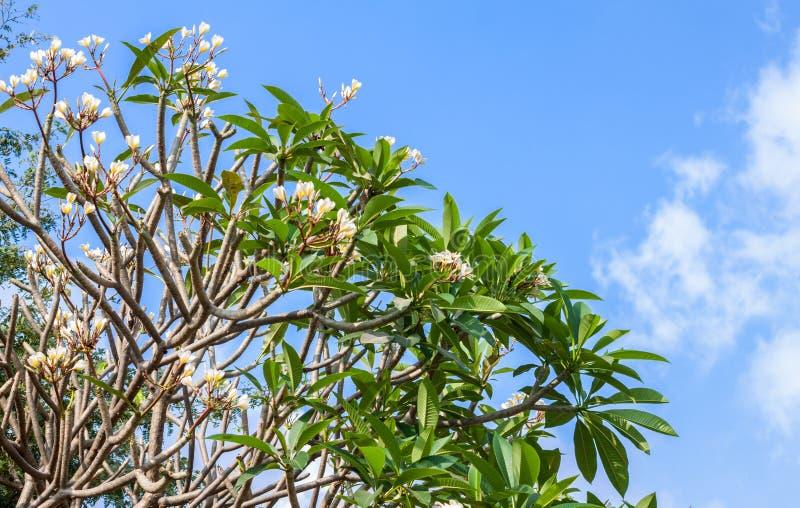 Weiße Blumen des Plumeriabaums lizenzfreie stockfotografie