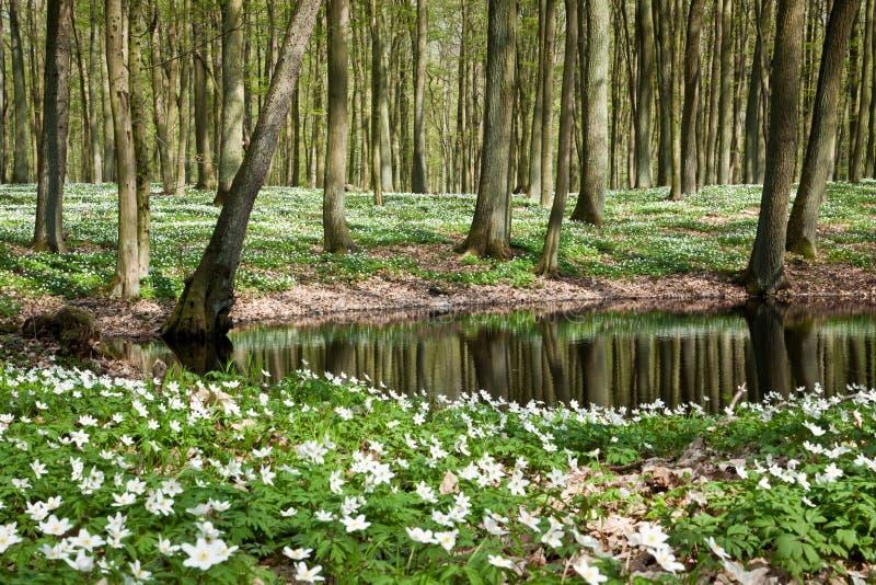 Weiße Blumen des Springers in Teich lizenzfreies stockfoto