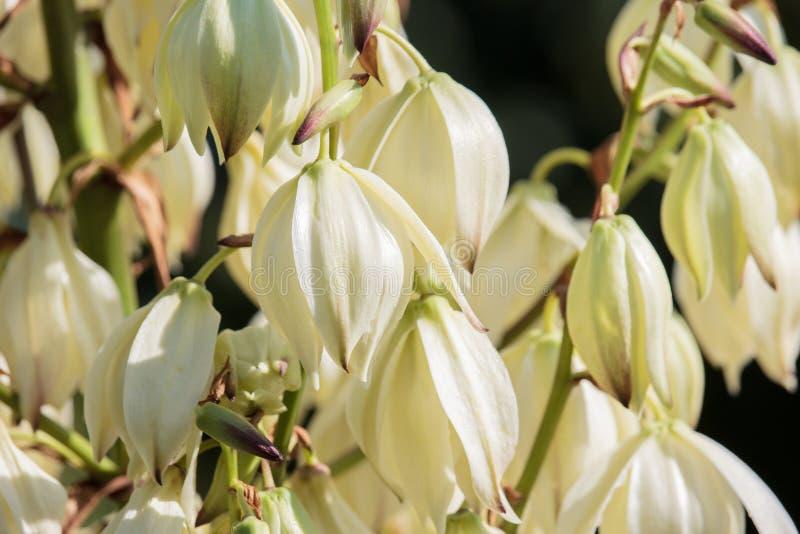 Weiße Blumen des Yuccas auf Sonnenuntergang lizenzfreie stockfotografie