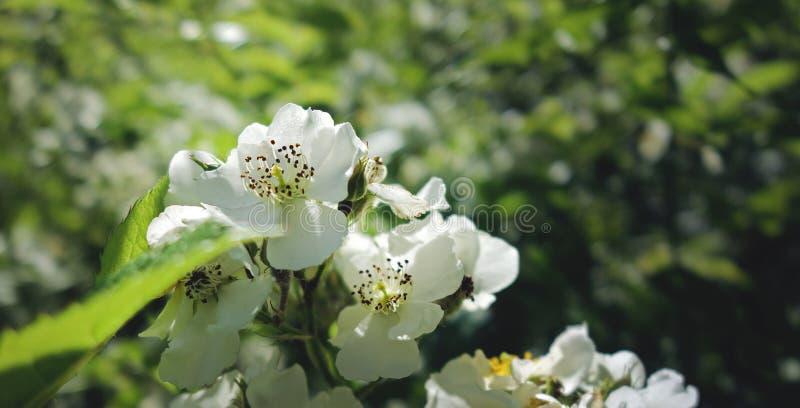 Weiße Blumen, die im Juni blühen stockfoto