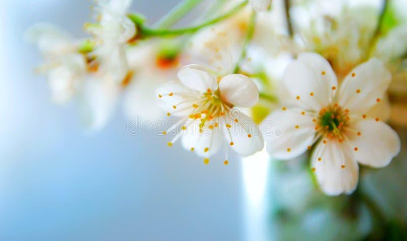 Weiße Blumen eines Apfelbaums gegen Hintergrund des blauen Himmels, selektiver Fokus lizenzfreies stockfoto
