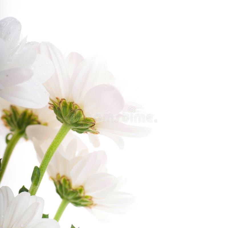 Weiße Blumen, Feld camomiles mit grünen Blättern stockfoto
