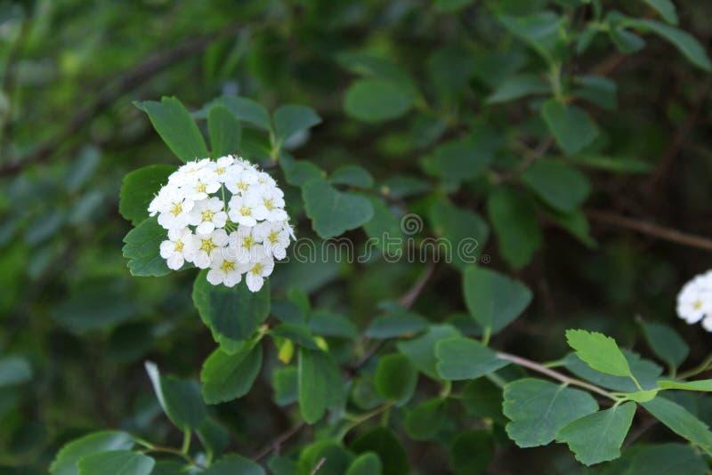 Weiße Blumen mit grünen Blättern stockbilder
