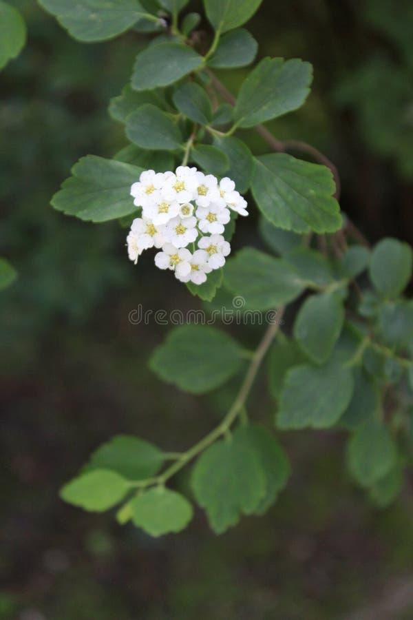 Weiße Blumen mit grünen Blättern stockfoto