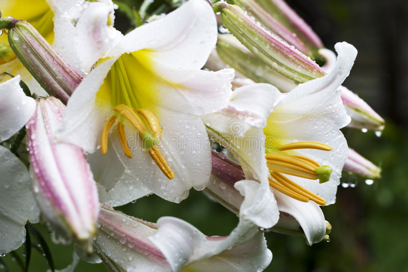 Weiße Blumen mit Wassertropfen lizenzfreie stockfotografie