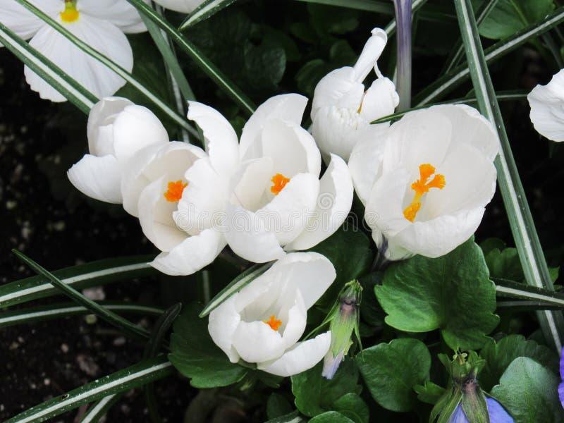 Weiße Blumen nach Regen-oben Abschluss stockfoto