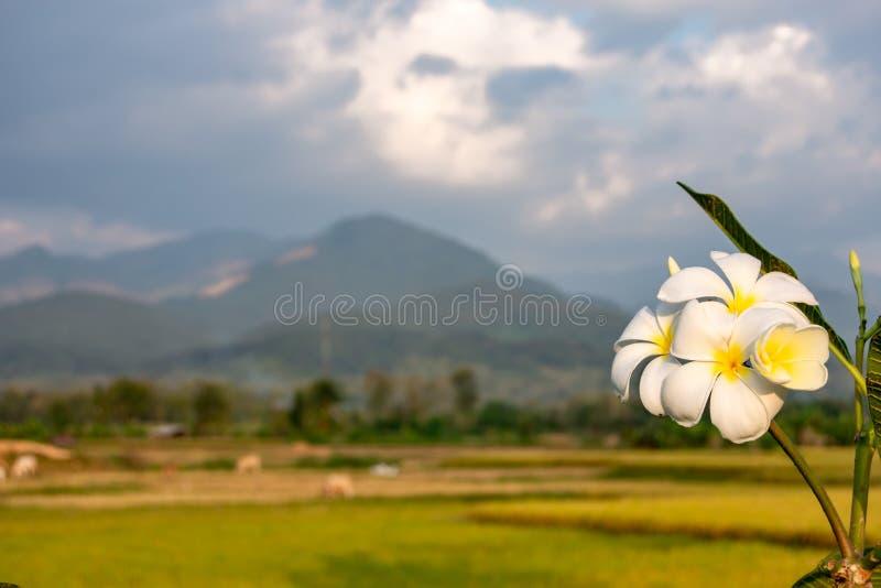 Weiße Blumen oder Plumeria-obtusa und Reisfelder im Land stockbilder