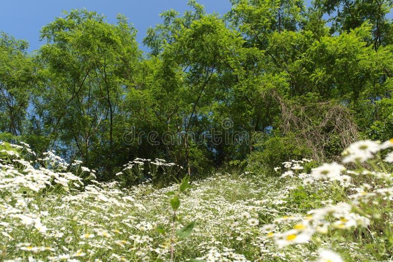 Weiße Blumen und Bäume stockbild. Bild von bäume, landschaft - 93899369