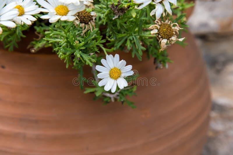 Weiße Blumen Vom Garten Im Topf Stockbild - Bild von schön, nave ...