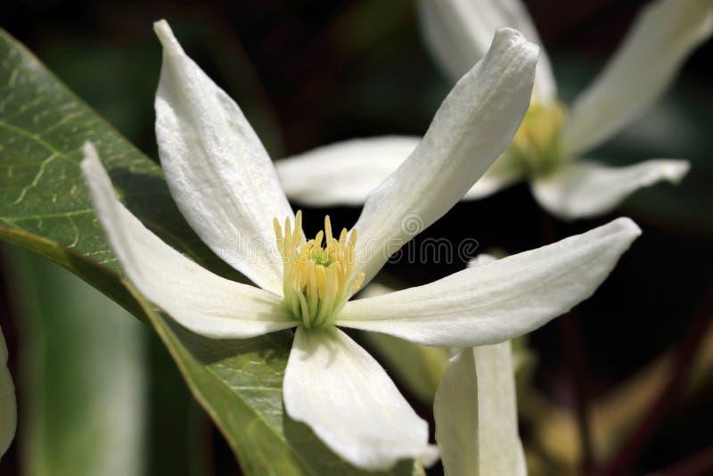 Weiße Blumen von Blüte Klematis Armandii- Apple stockfoto