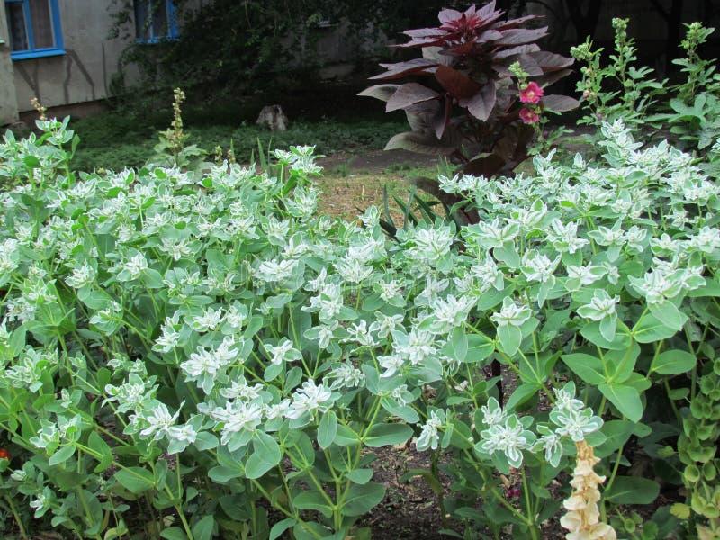 Weiße Blumen von Juli stockbild. Bild von juli, gras - 96689071