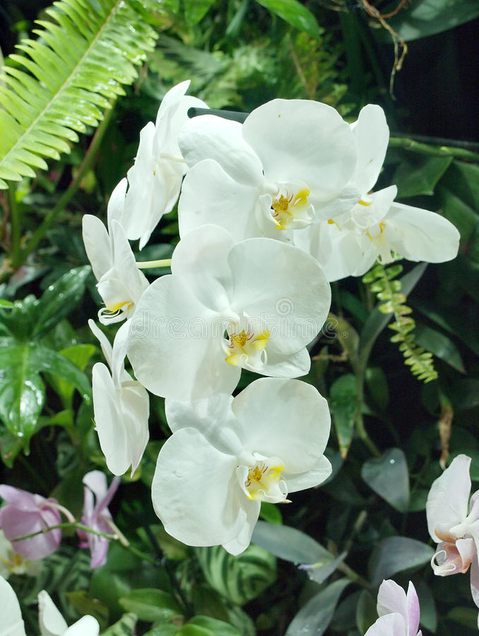 Weiße Blumen von Phalaenopsis-Orchideen stockfotografie