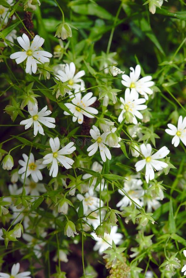 Weiße Blumen von Stellariastellaria oder -sandkraut stockfotografie