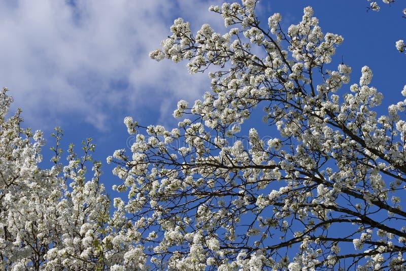Weiße Baum-Blüte stockfoto. Bild von draußen, himmel - 29837496