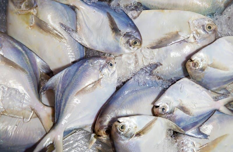 Wei?e Butterfische, Fische Frische wei?e Butterfisch-Fische im Markt konserviert mit Salz und Eis stockbild