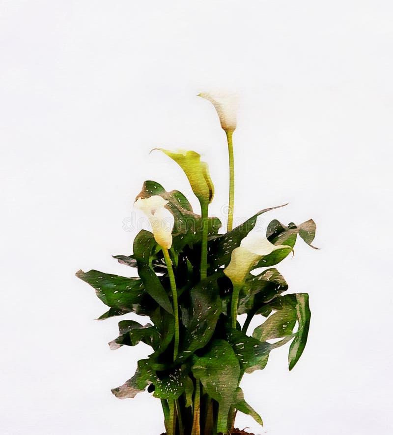 Weiße Calla lillies, lokalisiert auf Weiß, Aquarellart stockbilder