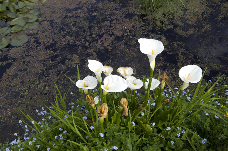 Weiße Callalilienblumen im Teich stockfotografie