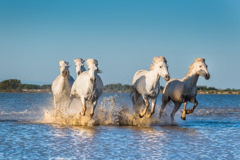 Weiße Camargue-Pferde, die auf dem Wasser laufen stockfotos