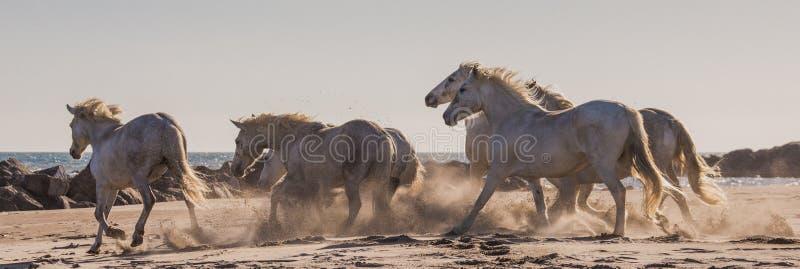 Weiße Camargue-Pferde, die auf den Sand galoppieren Parc Regional de Camargue frankreich Provence stockfotografie