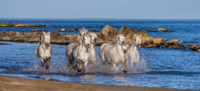 Weiße Camargue-Pferde, die entlang das Meer galoppieren, setzen auf den Strand Parc Regional de Camargue frankreich Provence lizenzfreie stockfotografie