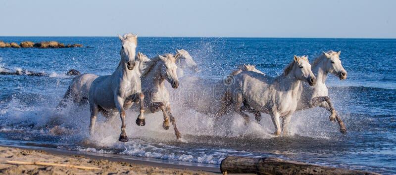 Weiße Camargue-Pferde, die entlang das Meer galoppieren, setzen auf den Strand Parc Regional de Camargue frankreich Provence lizenzfreie stockbilder