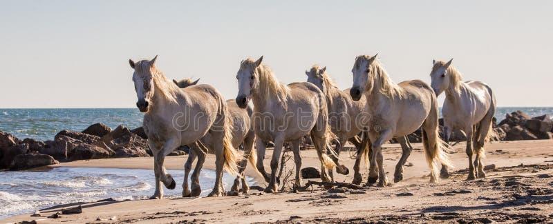 Weiße Camargue-Pferde fließen entlang Sand Parc Regional de Camargue frankreich Provence lizenzfreie stockfotos
