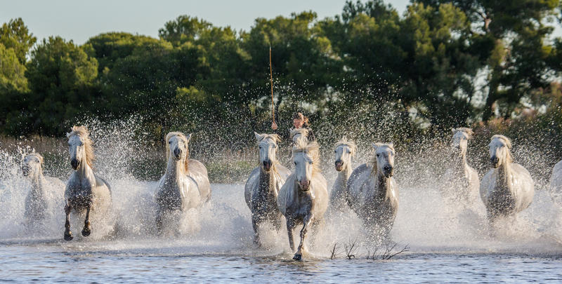 Weiße Camargue-Pferde laufen in das SumpfNaturreservat Parc Regional de Camargue frankreich Provence lizenzfreie stockfotos