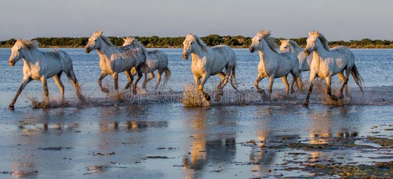 Weiße Camargue-Pferde laufen in das SumpfNaturreservat Parc Regional de Camargue frankreich Provence stockfotos