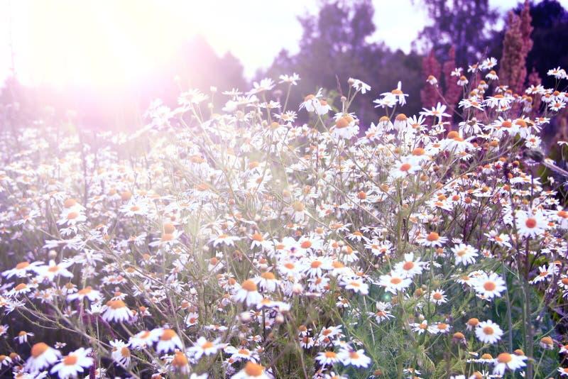 Weiße camomiles, die auf dem Gebiet in den sonnigen Strahlen wachsen Weinleseblumenbild Blumen im Sepia stockfoto
