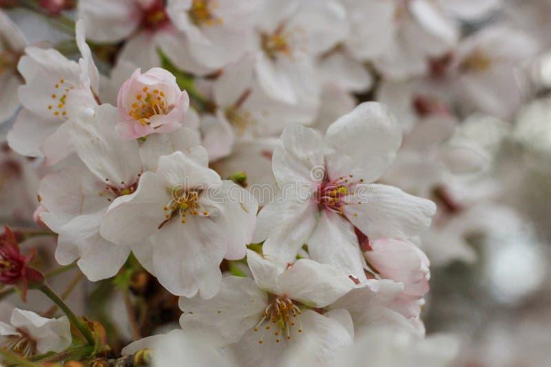 Weiße Cherry Tree-Blumen in voller Blüte, Japan lizenzfreies stockfoto