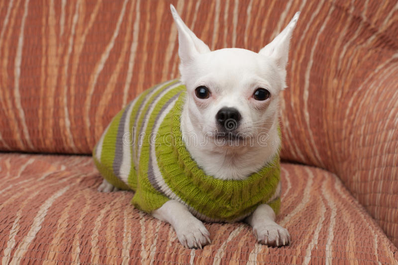 Weiße Chihuahua kleideten mit dem Pullover an, der auf Sofa liegt lizenzfreies stockbild