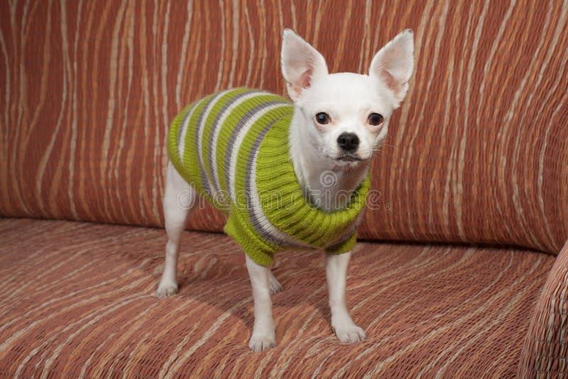 Weiße Chihuahua kleideten mit dem Pullover an, der auf Sofa steht stockfoto