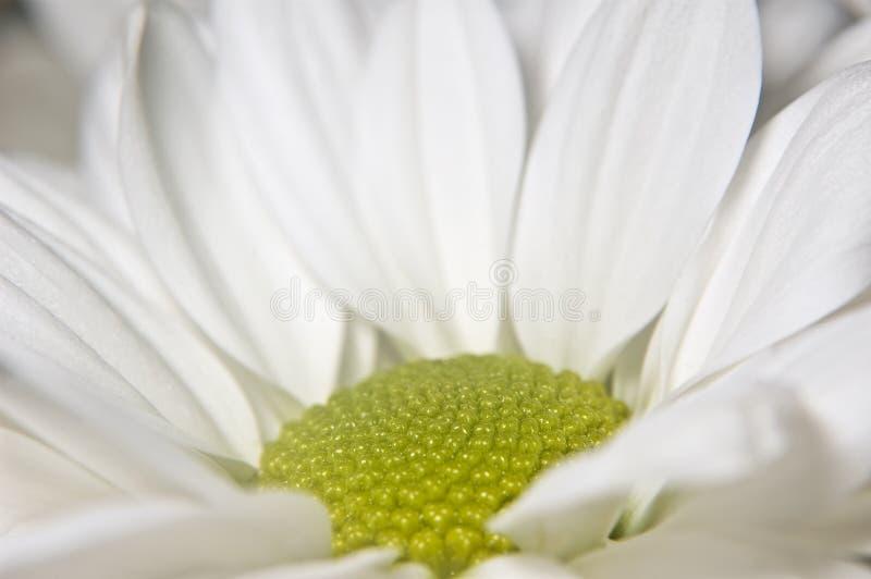 Weiße Chrysantheme stockbilder