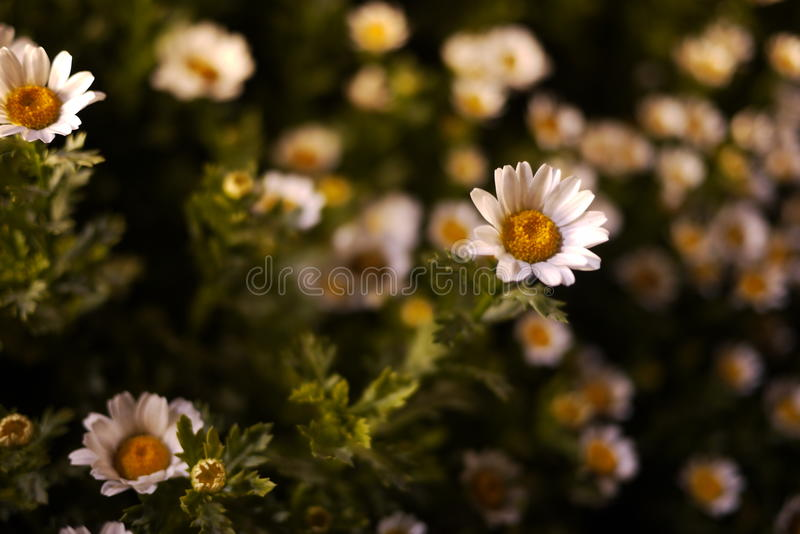 Weiße Chrysantheme nachts lizenzfreies stockfoto