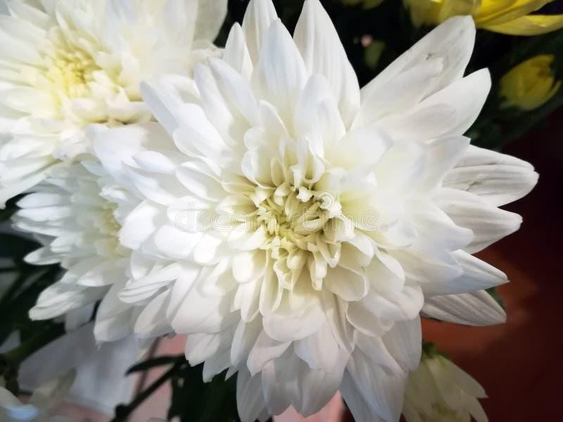 Weiße Chrysanthemeblume stockfotos