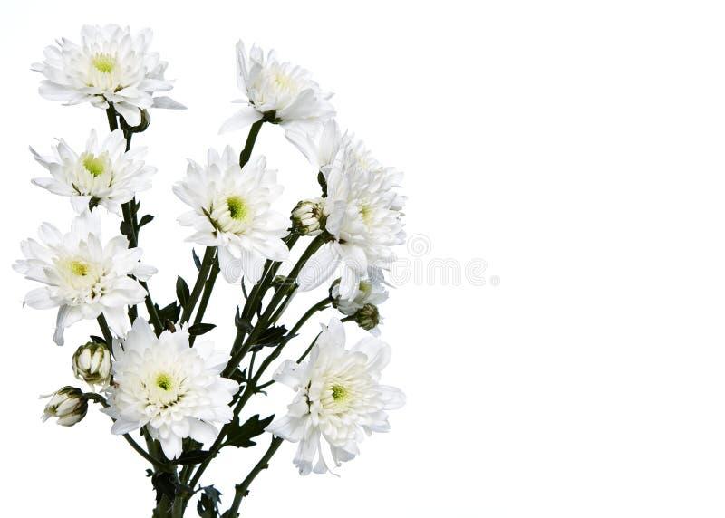 weiße Chrysanthemennahaufnahme lizenzfreie stockfotos