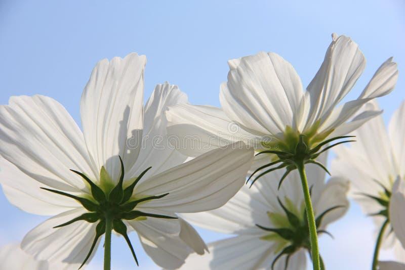 Weiße Cosmo-Blumen gegen blauen Himmel stockfotografie