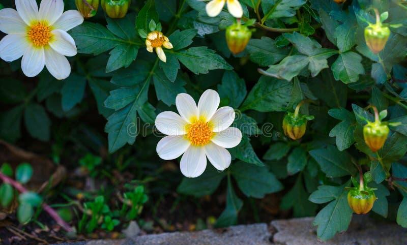 Weiße Dahlie Bambinoblume blüht im Garten lizenzfreie stockfotos