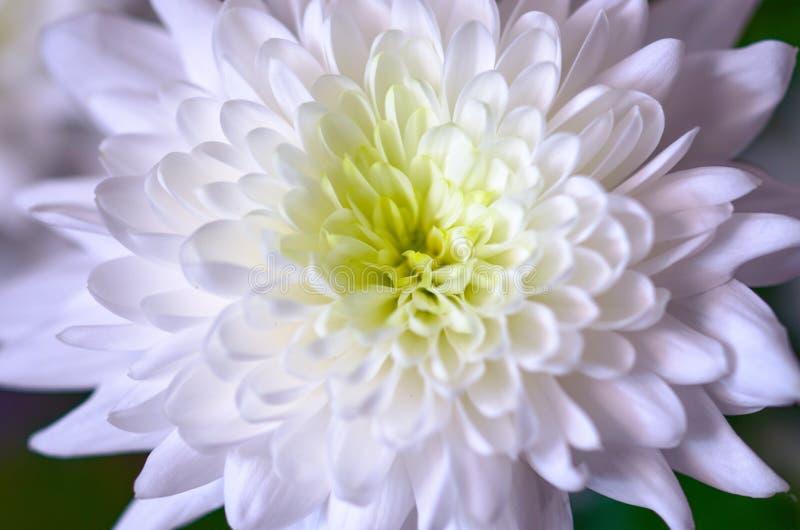 Weiße Dahlienblume in der Blüte stockbild